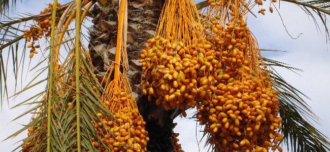 dates fruit benefits