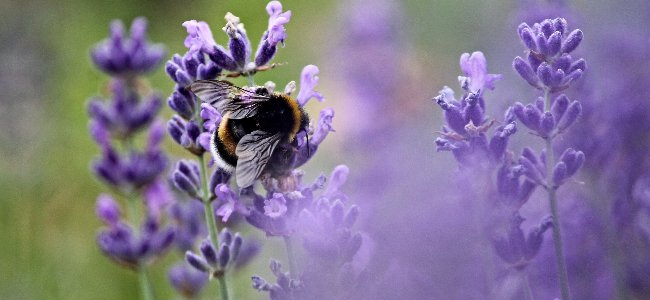 how to fall asleep fast using lavender